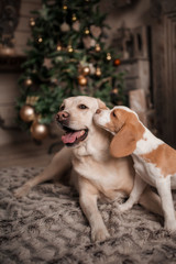 dogs are kissing at Home stylish festive atmosphere decorated themed interior. Winter holidays and festivities!