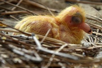 młody, nieopierzony gołąbek w gnieździe