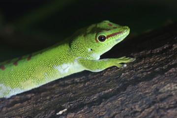 Portrait de gekko