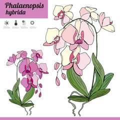 Exotic plant Phalaenopsis isolated on white background. Tipical room plant grown  indoors for home decoration. Various color.