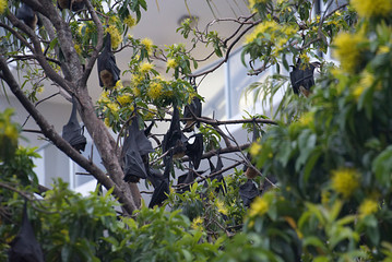 Flying Foxes of Cairns