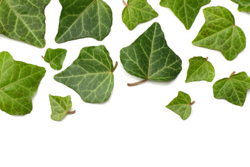 ivy leaves isolated on a white background. top view
