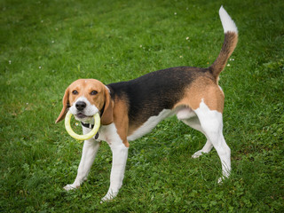Beagle mit Spielzeug