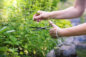 Door stickers Condiments woman collects herbs, collect oregano using scissors, organic herbal garden