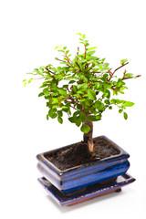 Bonsai carmona tree