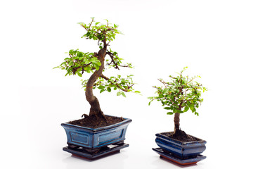 Bonsai carmona tree