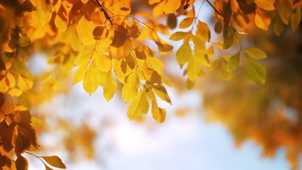 Wall Mural - Red and yellow autumn leaves on tree, blue sky in background. Shallow DOF.