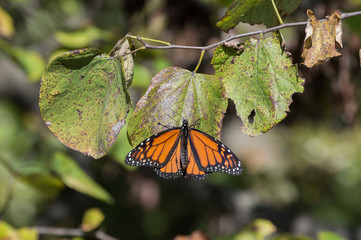 A pretty orange and black monarch butterfly enjoys the last days of warm weather. The leaves of the redbud tree are in their last stages before dropping off for winter.