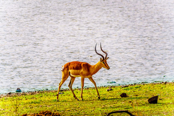Self adhesive Wall Murals Elephant Male Impala at a watering hole in Kruger National Park in South Africa