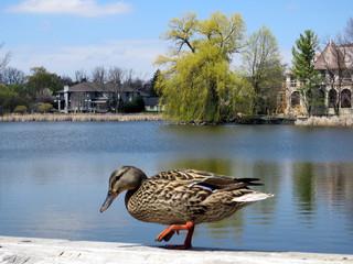 Thornhill duck walking 2017