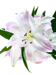 White-pink lilies isolated on white background