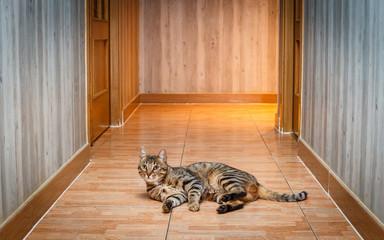Gato de Bengala, tumbado. Bengalí.