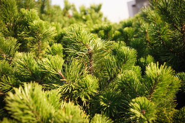 Brightly Green Prickly Branches of Pine