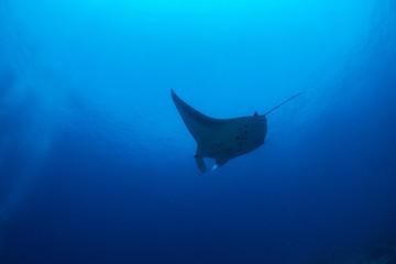Manta ray swimming in the Ocean - Maldives, Male Atoll