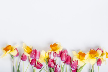 Yellow daffodils and  pink tulips in row on the white background