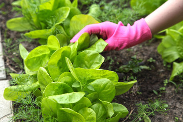 Salad grows in the garden and it is cultivated by a truck farmer. Organic vegetable growing in the country.