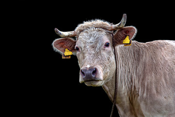 Cow on a black background, a portrait