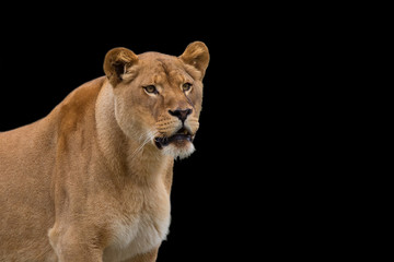 Lioness on a black background, a portrait