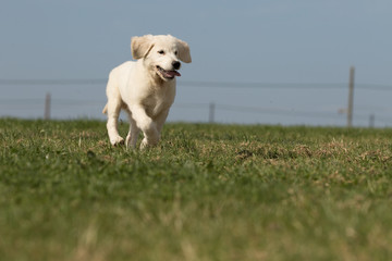 ".puppy retriever ""withe diamond"" in summer on a meadow"