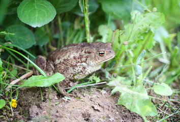 European brown toad