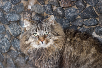 Fat fluffy cat brown red closeup