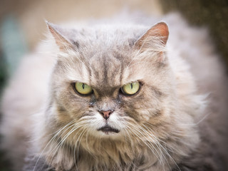 head shot photograph from face and yellow eye old female gray persian cat with long hair sit in garden with soft focus background