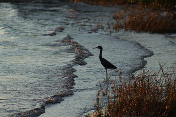 Great blue heron standing along the shoreline with water recession