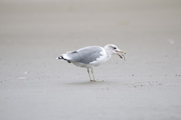 Sea gull throwing a worm in its beak on Long Beach