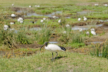 Sacred Ibis (Threskiornis aethiopicus) in the ngorongoro crater