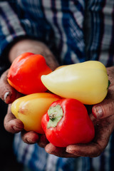 Farmer hands holding bell peppers on farm.