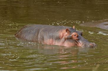 Closeup of Hippopotamus in the Serengeti National park, Tanzania