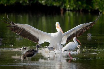 White Pelican landing amongst other birds