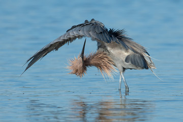 Reddish Egret in typical pose