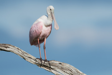 Roseate Spoonbill, isolated on a branch in front of blue skye