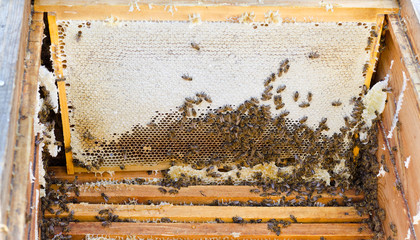 bees in open beehive