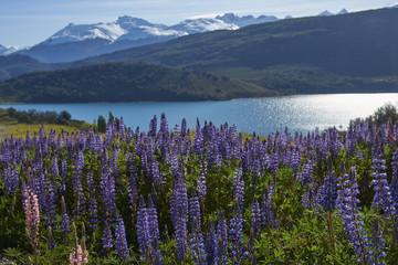 Keuken foto achterwand Nieuw Zeeland Spring in Patagonia. Lupins flowering on the shore of Lago General Carrera in Northern Patagonia, Chile.
