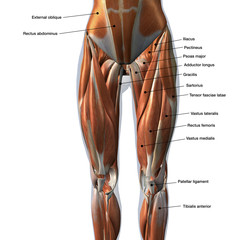 Female Front Leg Muscles Labeled on White