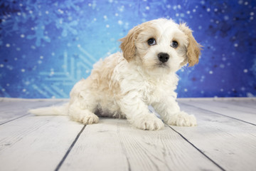 Cavachon with snowflake background