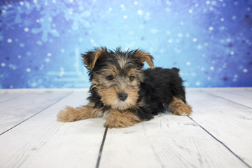 Yorkshire Terrier with snowflake background