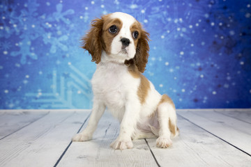 Cavalier King Charles Spaniel with snowflake background