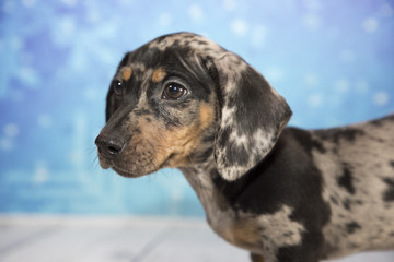 Miniature Dachshund with snowflake background