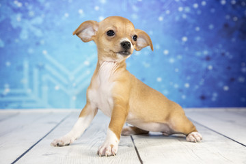 Chihuahua with snowflake background
