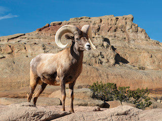 Bighorn sheep ram with large curved horns