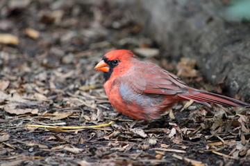 Fotoväggar - Roter Kardinal