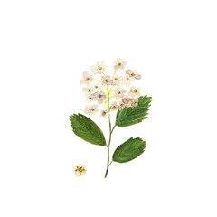 Watercolor shrub with small white flowers, spirea. Spiraea vanhouttei. Flowers of meadowsweet in spring