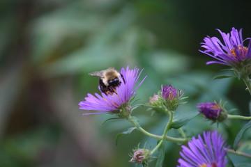 Fotoväggar - Hummel und lila Blüten