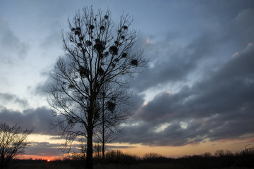Large leafless tree against the background of a sunset