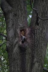 Fototapete - Waschbär im Baum