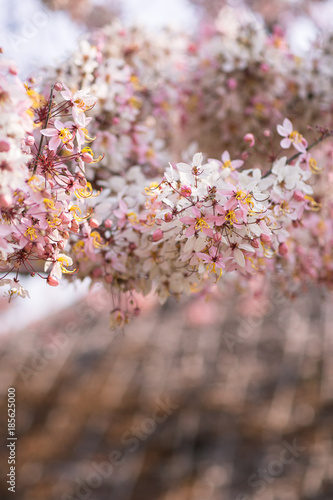 Cassia bakeriana floweringblooming pink cassia with blur background cassia bakeriana floweringblooming pink cassia with blur backgroundpink shower tree in thailand mightylinksfo