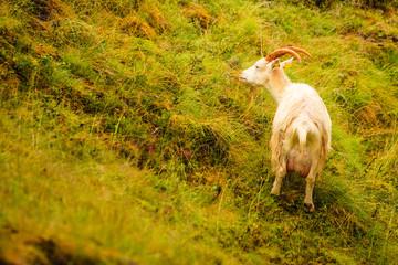Goat grazing on green hill